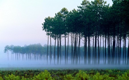 Forest fog - forestes, nature, trees, fog