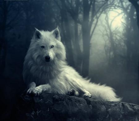 White Wolf In The Dark - Dogs & Animals Background ...