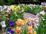 Multicolor place with irises