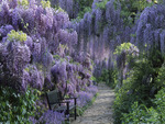 bench  among   wisteria