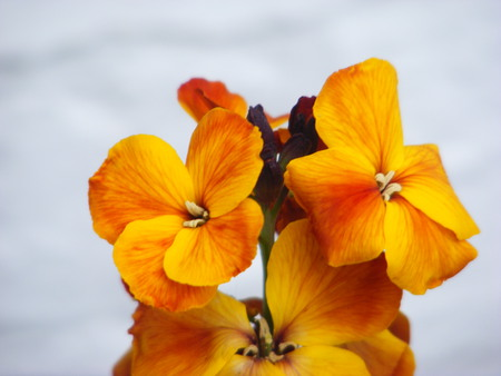 The Wallflower, - wallflower, orange, flowers, scent, wall