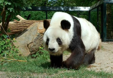 Panda - panda, bear, black, white, animal