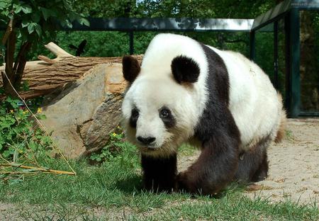 Panda - animal, white, panda, black, bear