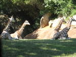 Giraffes in North Carolina Zoo