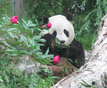little panda for leo19 - panda, little, flowers, sitting, bamboo