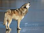 Howling Grey Wolf