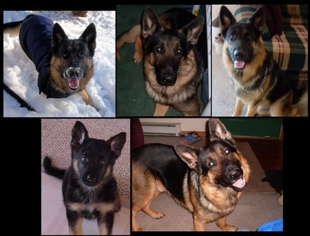 GERMAN SHEPHERD COLLAGE - cute dogs, guarding dogs, cute german shepherds, puppies, animal collage, german shepherd puppies, german shepherds, animals, dogs