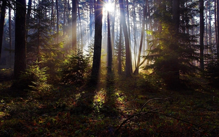 RAYS of LIGHT - forest, grass, sun rays, light, pine, spruce, trees, leaves