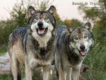 2 Wet Wolves