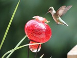 "Humming Bird  ""The Hover"""