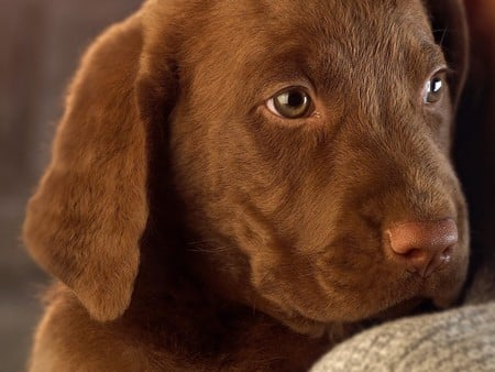 chocolate labrador - puppy, animals, dog, labrador