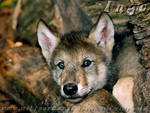 Ingo The Baby Wolf Pup