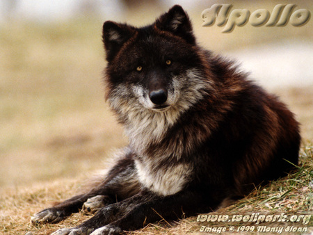 Apollo The Black Wolf Dogs Animals Background Wallpapers On Desktop Nexus Image 661344