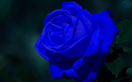 single blue rose 3d and cg amp abstract background