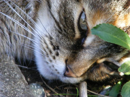 Erica, deep in thought! - whiskers, tabby, cat, eyes, leaf