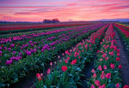 Tulips forever - sunset, pink sky, purple, tulips, pink, rows, red