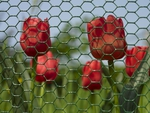 tulips behind the wire