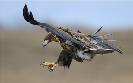Flight of the Eagle - magnificent, attacking, birds, beautiful, eagle, animals