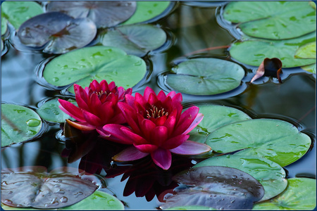 Water lily - lily, flowers, nature, water