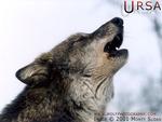 Ursa Howling
