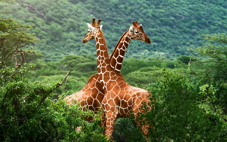 Couple - animals, couple, female, herbivorous, giraffes, male