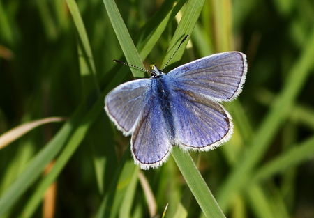 Common blue - on blue, butterfly, comm, polyommatus icarus