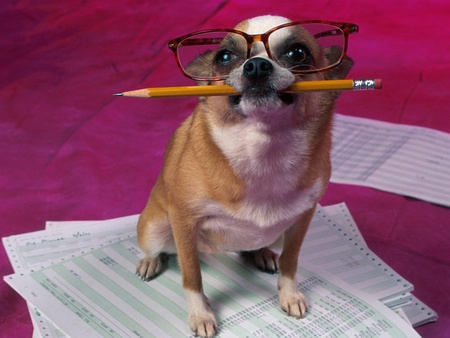 Office worker - glass, pencil, office, work, paper, puppy, dog, animal