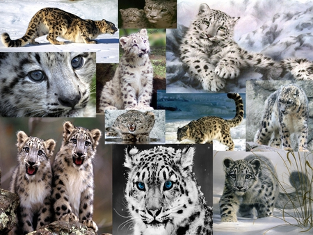 The Snow Leopard Collage