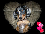Begging Dachshund Pup F1
