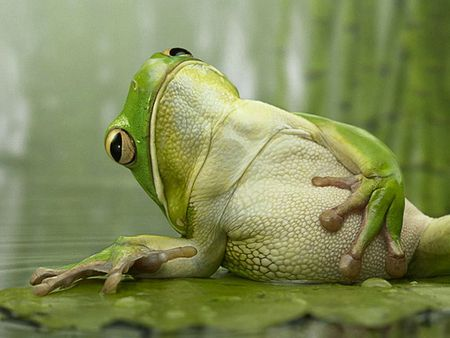 Funny frog frogs animals background wallpapers on desktop nexus image 675170 - Funny frog pictures ...