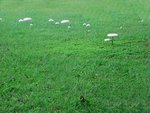 Mushrooms in a field