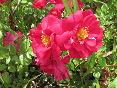 Wild Roses of Alberta - Canada - red, green, wild roses, flowers, garden