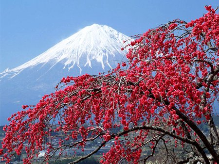 Fuji And Cherry Blossom Tree Mountains Nature Background