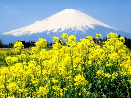 Fuji And Yellow Flowers Mountains Nature Background Wallpapers