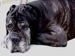 10 year old Mastiff