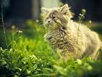 Kitten Vegetarian