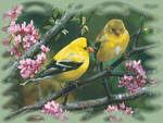 American Goldfinches 2