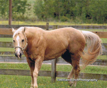 American Quarter Horse Horses Animals Background Wallpapers On