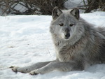 Gray Wolf in Winter for Kate