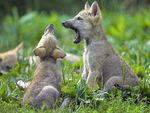 Young_Wolf_Cubs