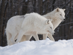 Snowy White Wolves
