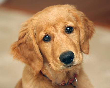 Cute Golden Retriever Puppy Dogs Animals Background Wallpapers On Desktop Nexus Image 683647