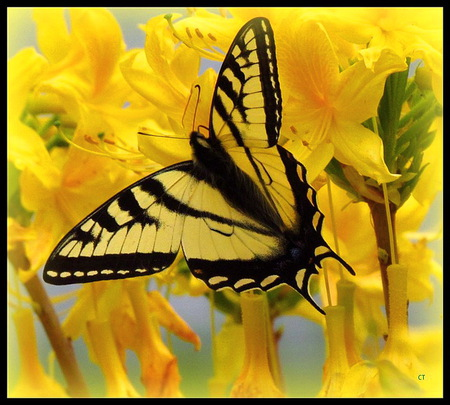 Yellow wings and blooms - butterfly, black and yellow, swallowtail, flowers, yellow, spring