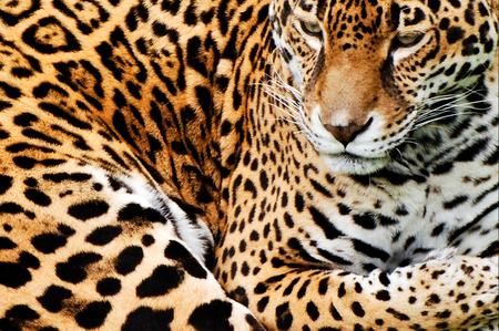 Leopard - leopard, animals, feline, face