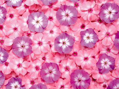 Pink and purple flowers flowers nature background wallpapers on pink and purple flowers purple tenderness flowers little flowers beauty mightylinksfo