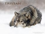 Tristan Laying In The Snow