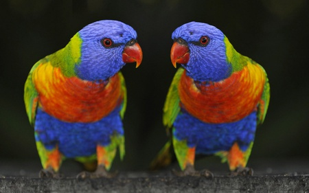Parrot Twins - orange, colors, birds, parrot, two, beaks, eyes, animals, blue