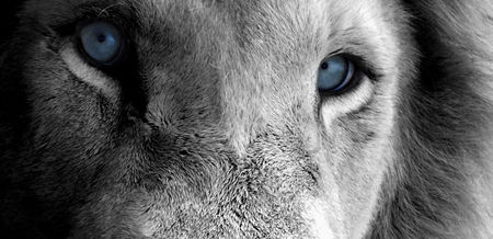 Blue Eyes Of A Lion Cats Animals Background Wallpapers On Desktop Nexus Image 688167