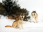 Grey Wolves On A Snow Bank