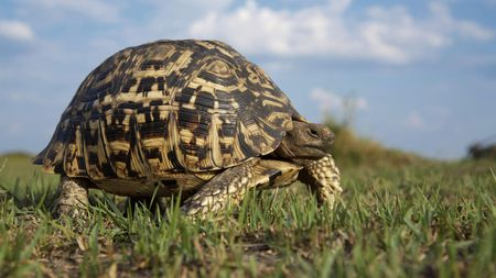 Land Turtle - cool, land, picture, turtle